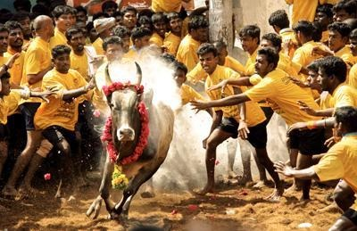 jallikattu-2018-bus-rental