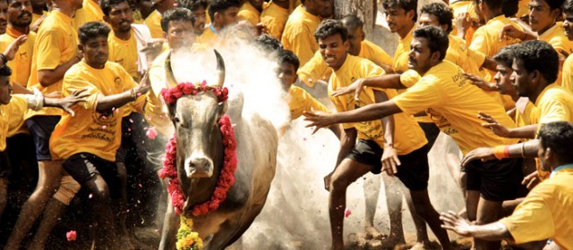 Pongal festival in India-Exhilarating Alanganallur Jallikattu 2018, Makara Shankaranthi|Pongal kolam