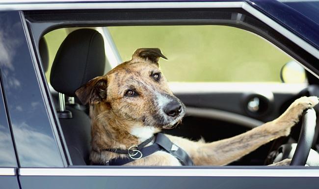dog-driving-1